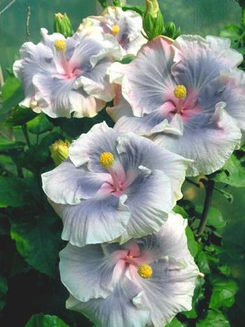 Hibiscus 'Tahitian Princess'                                                                                                                                                     More