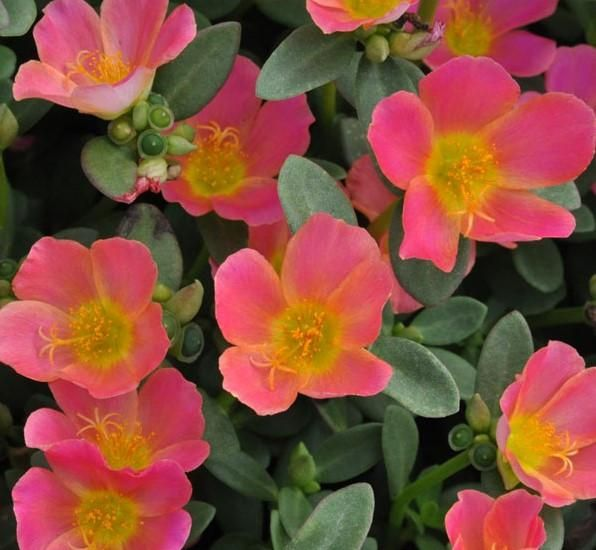 Portulaca oleracea 'PAZAZZ Pink Glow'