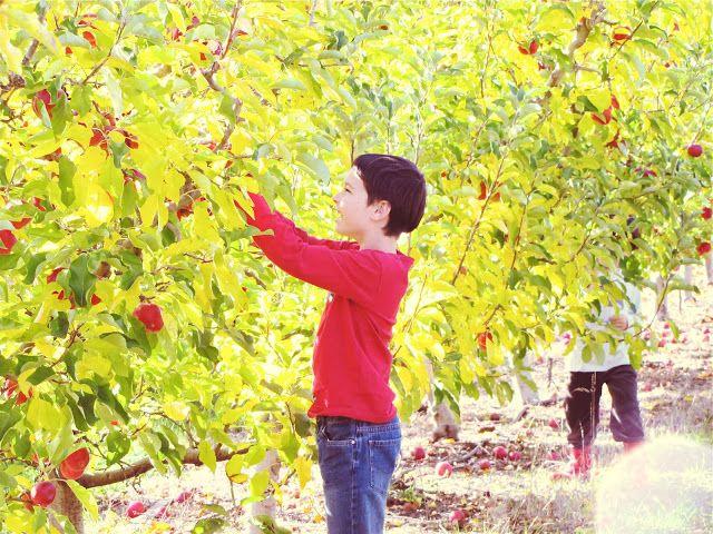 Apple Picking in Donnybrook