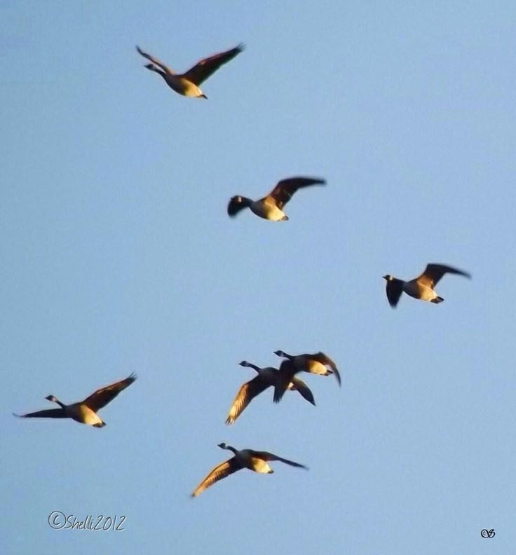 """High flying honkers""  photo by Shelli Fitzpatrick,  Blog archives"