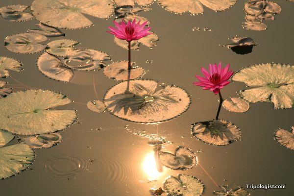 Simple essay lotus flower free essays on lotus flower information lotus flower information in kannada flower essay in hindi mightylinksfo