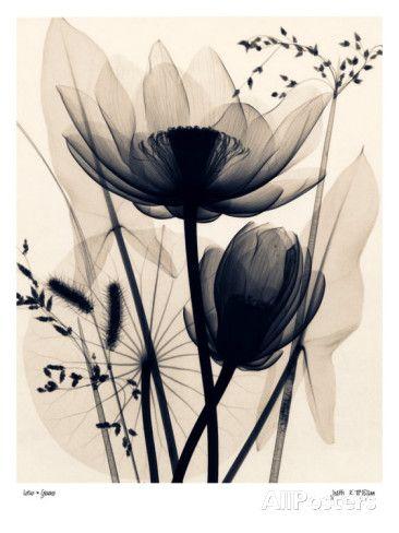 Lotus and Grasses Kunstdruck
