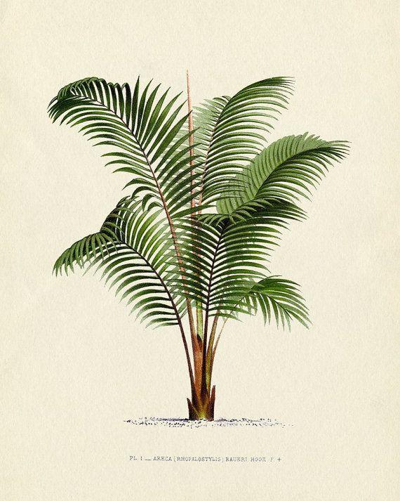 Antique Botanical French Palm Tree Series Plate 1 1878 8 x 10 Art Print Wall Decor. $10.00, via Etsy.