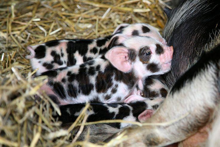 piglets | 101 dalmations no six fine fat spotty kune kune piglets arrived ...