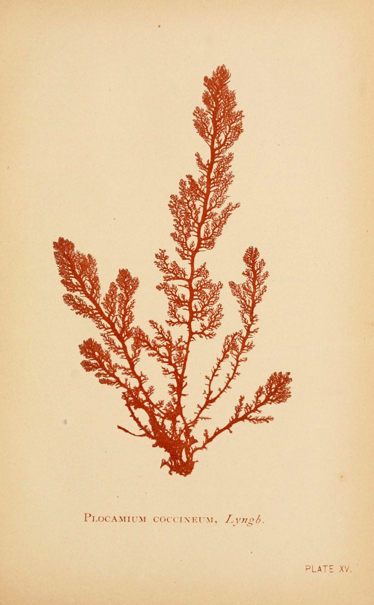 Plocamium coccineum, from Sea mosses by B. Whidden, Boston, 1893
