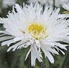P7 Leucanthemum 'Sante' or 'Aglaia' - shasta daisy Position: full sun Soil: moderately-fertile, moist but well-drained soil Rate of growth: average Flowering period: June to September Other features: dark green leaves; excellent cut flowers Hardiness: fully hardy H: 65 cm S: 45 cm
