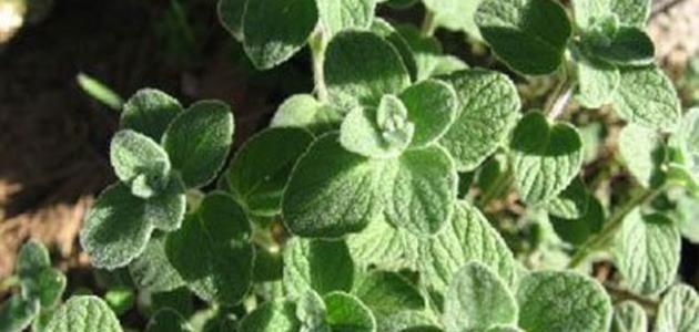 فوائد الزعتر الاخضر البري في قائمة طويلة لا ت صد ق شبكة وكالة نيوز Plant Leaves Plants Health