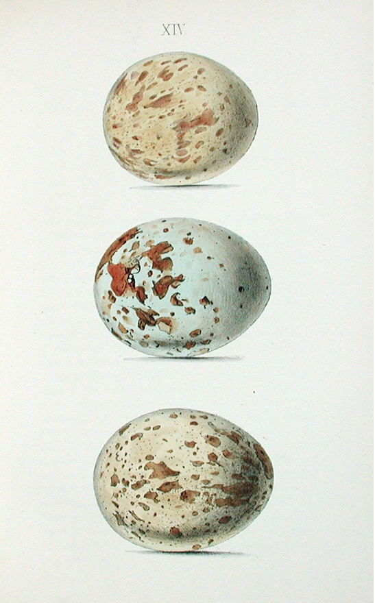 Historical illustration of speckled eggs. They look like little worlds with their own islands and continents.