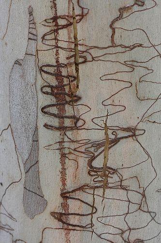 Katarina Christenson - Scribbly gum bark
