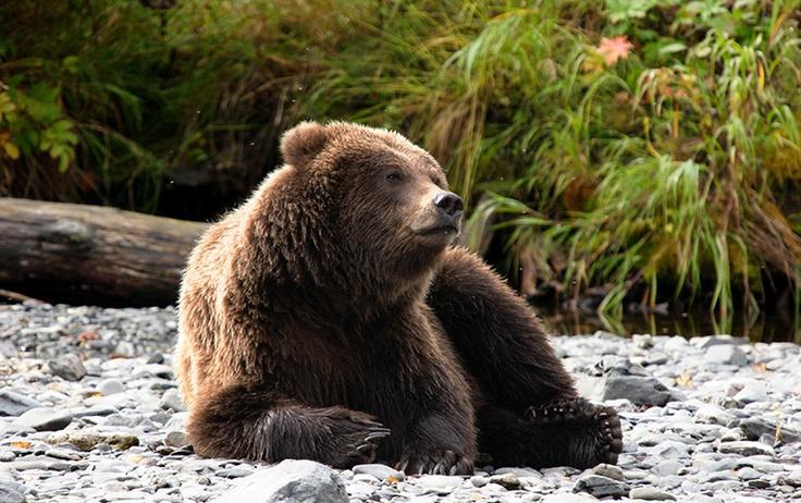Kenai (AK) United States  city pictures gallery : Kenai, AK | Bears | Pinterest | Alaska, United States and US states