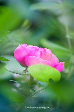 Rose de Resht, zweite Blüte, wildeschoenheiten.wordpress.com