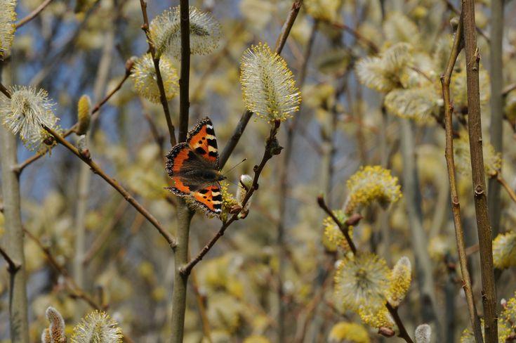 Kvetoucí stromy jsou úplnou hostinou pro hmyz i motýly. Přečtěte si reportáž o jívě rokytě.