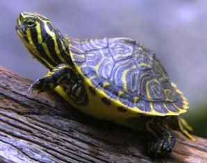Yellow Bellied Slider Turtle- The yellow bellied slider is a very attractive turtle that was originally native to North Florida, but is now often found in the southern part of the peninsula, where its numbers seem to be increasing.