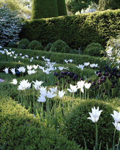 Oscar de la Renta Garden Queeen of the night tulips and white parrot tulips