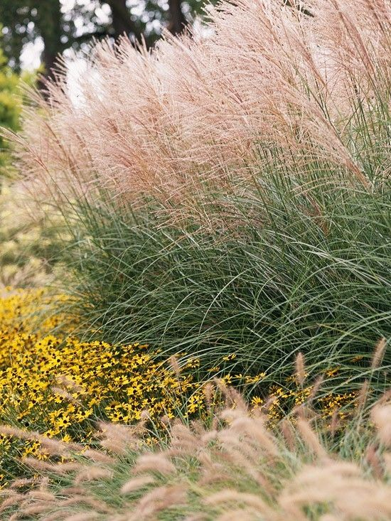 39 morning light 39 maiden grass miscanthus sinensis usda for Full sun perennial grasses