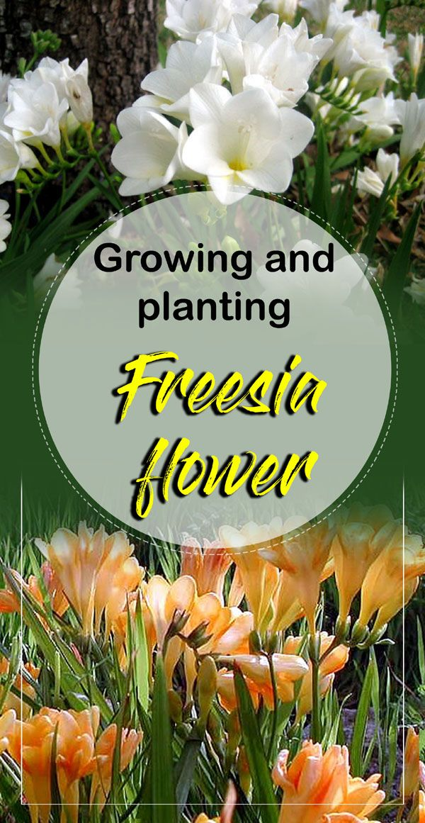 Growing And Planting Freesia Flower In 2020 Freesia Flowers Plants Beautiful Flowers Garden