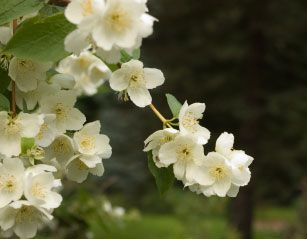 Mock orange, found in the Pacific Northwest (state flower of Idaho, too), was discovered by Meriwether Lewis on the Lewis & Clark expedition. Combine this in full bloom with the smell of cedar, pine, and the ocean, and you have one wonderful smell of spring/summer in British Columbia!