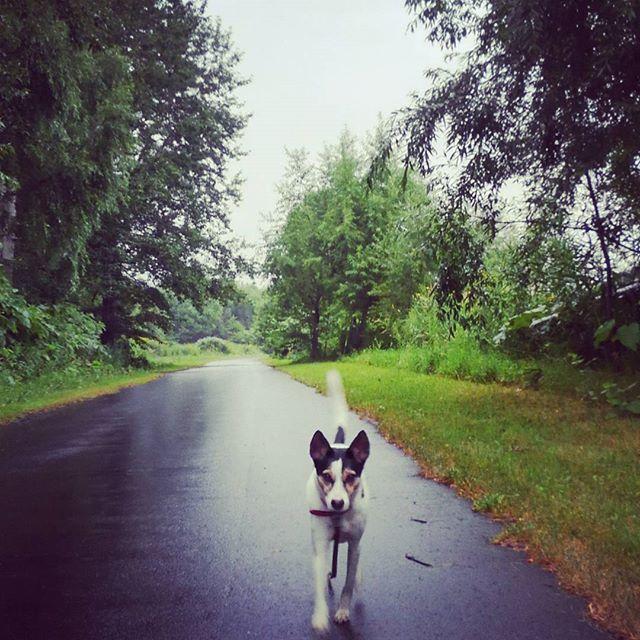 今日は雨の中のお散歩。#こむぎ #元保護犬 #雑種犬 #愛犬 #お散歩 #ウォーキング #健康 #早寝早起き #朝活 #雨だった #テンション下がる #こむぎも #心なしか #テンション低め #道 #道路 #森林 #自然 #北海道