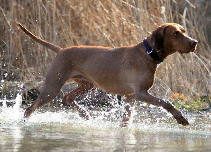 Фото породы собак гладкошёрстая выжла и жесткошёрстая выжла.
