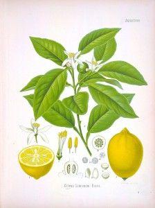 Botanical - Köhler's Medizinal Pflanzen (1887) - Lemon