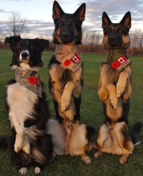 Canadian military dogs Tracer, Trooper  Trigger standing at attention.