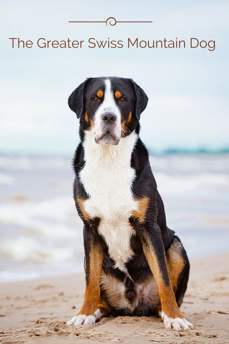 The Greater Swiss Mountain Dog is thought to have originated when the Romans crossed the Mastiff breed with the Swiss dogs of the region. This breed was used primarily for herding and guarding since the Middle Ages. Learn all about the Greater Swiss Mountain Dog and see if one could be a fit for you.