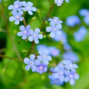 Largeleaf Brunnera (brunnera macrophylla): Brunnera macrophylla (Siberian bugloss, great forget-me-not, heartleaf) is a species of flowering plant in the family Boraginaceae, native to the Caucasus. It is a hardy, rhizomatous, herbaceous perennial, that can reach from 12 to 18 inches (30 to 45 cm) in height, and carries basal, simple cordate leaves on slender stems. Sprays of small blue flowers, similar to those seen in the related forget-me-nots, are borne from mid-Spring, and bloom for…