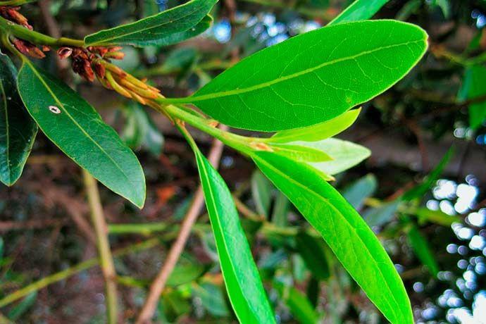 Alloro, le foglie dell'immortalità da raccogliere in primavera - Territori COOP