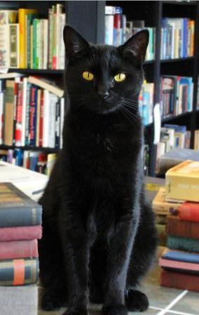 Kitty-Wan Kenobi, resident cat of Sandman Book Company ~ Punta Gorda, Florida. He was a rescue kitty.