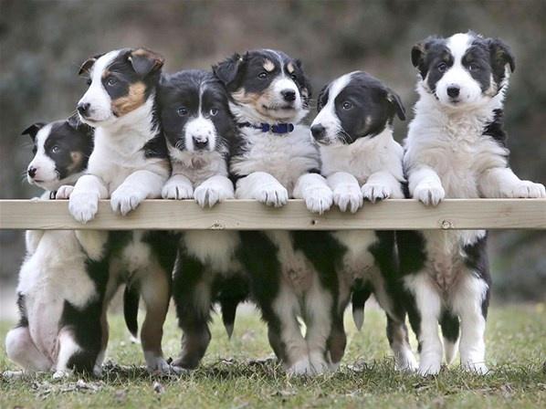 Seis filhotes de cachorros da raçaborder collie se enfileram para uma 'foto em família', na fazenda Grande Ovelha, em Bideford, ao norte de Devon, Inglaterra