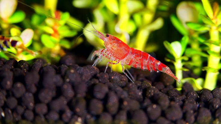 http://www.flickr.com/groups/shrimpbreeders/ http://www.facebook.com/shrimpinfo