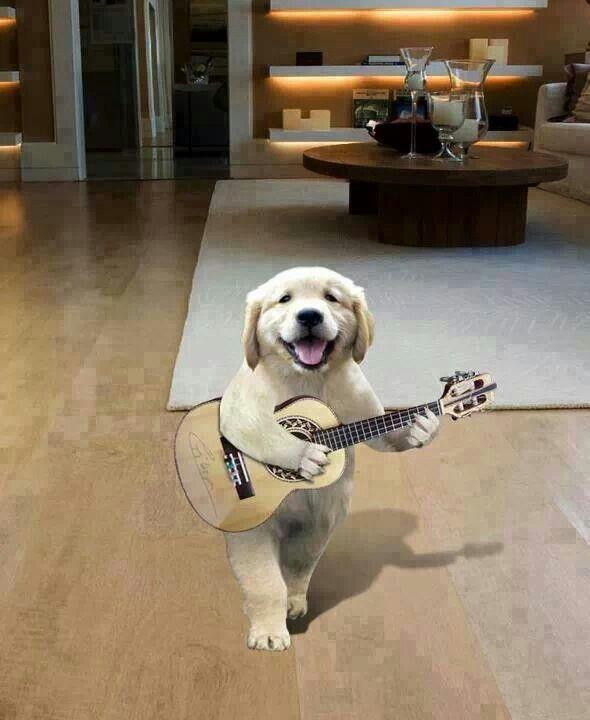 Golden retriever playing guitar