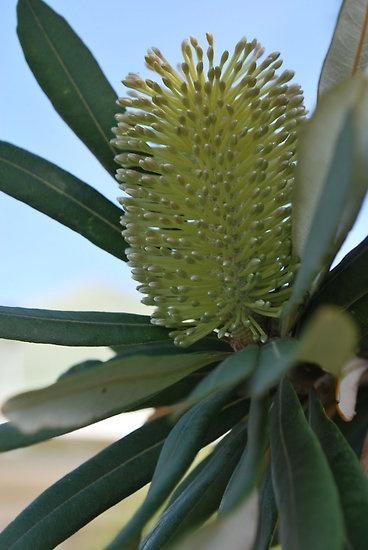 Australian Banksia by Lozzar Flowers & Art