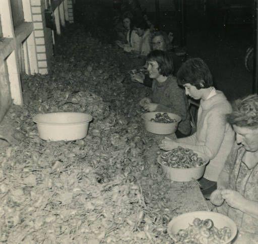 Bollenpellen door aantal vrouwen in de bollenloods 6 december 1963