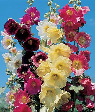 """Country Romance Mix Hollyhock Seeds and Plants at Burpee.com... This is the old-fashioned perennial hollyhock that is so hard to find. Try it along a fence or plant with verbascum for a special look. A blend of rose, white, maroon, yellow and pink, large 3-5"""" single flowers are produced abundantly on stalks 5-7 ft, July to September. Grows best in full sun."""