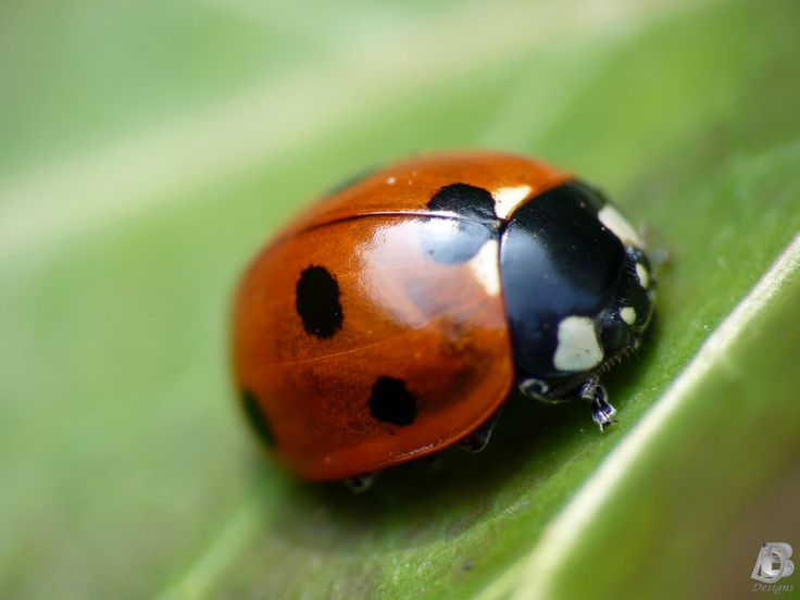 Best Ladybugs Insects Bugs Images On Pinterest Beetles Lady