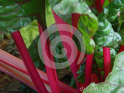 Closeup of bright pink stalks of Swiss Chard or Mangold.