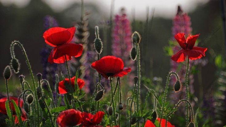 Beautiful Red Poppies Wallpaper
