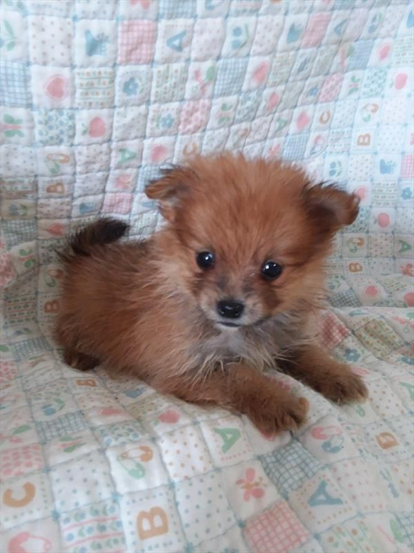 Pomeranian Puppy For Sale In Tucson Az Adn 71896 On Puppyfinder