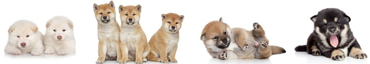 My Very First Shiba Inu Puppy. Love Shiba Inus? Learn more about this breed at www.myfirstshiba.com