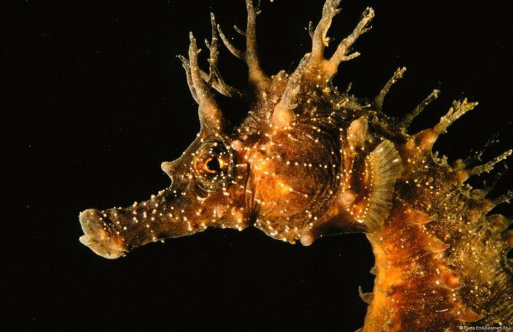 #Seahorses are widespread in the #MediterraneanSea and along the eastern Atlantic coasts, all the way to Guinea. #AcquariodiGenova #AcquarioVillage