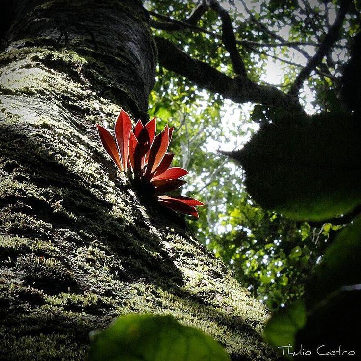 Chamando a atenção do alto da #arvore na #floresta. Esta plantinha conseguiu prender a atenção e fazer pose pra foto! É da #natureza que vem a inspiração para o #jardim e o #paisagismo. Aqui se propõe iluminar o #verde com um vermelho saindo do meio da vegetação.  #landscape #landscaping #landscapedesign #garden #gardening #giardino #natureza #nature #green #red #Amazonia #rainforest #Rondonia #portovelho #camposecastropaisagismo #thuliocastro by thuliocastropaisagismo