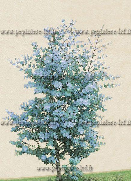 Eucalyptus Gunnii, Eucalyptus Gunni, Gunnii, Arbre, Pepiniere Discount, Pepinieriste - Pepiniere-Lcf