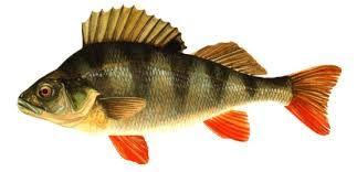 sügér horgászata - Google keresés