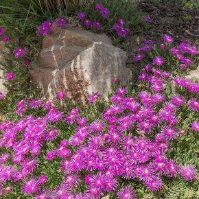 Delosperma cooperi - Pourpier vivace– Un tapis de petites fleurs mauve