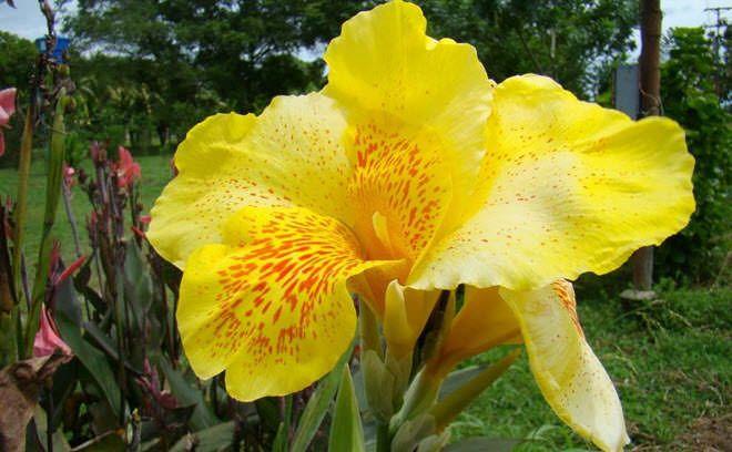 flores-hermosas-mundo-canna-india.jpg (660×408)
