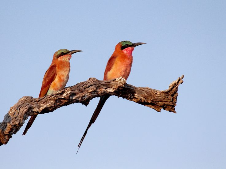 Carmine Bee-eater...his and hers - null