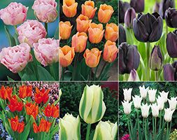 RHS award winning tulips Guaranteed to produce magnificent blooms next spring that will attract admiring glances. Plant in tubs or borders for an annual spring show ...