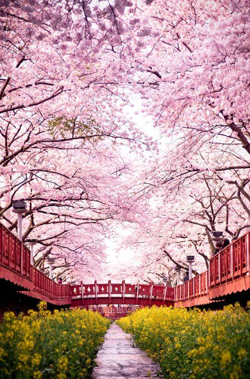 romance bridge full of cherry blossoms