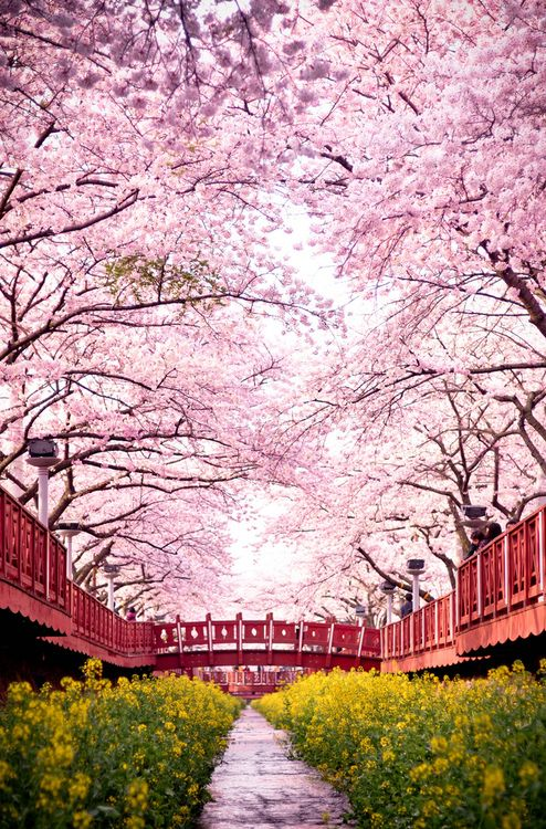 romance bridge full of cherry blossoms